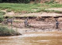 Waterbuck family at the Olifants river