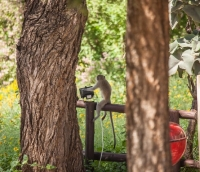 Vervet monkey at the braai area